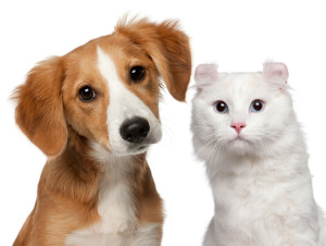 Mixed-breed puppy, 4 months old and a American Curl cat, 1 and a
